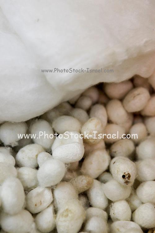 China, Beijing, Silk factory visitor Center, silkworm cocoon
