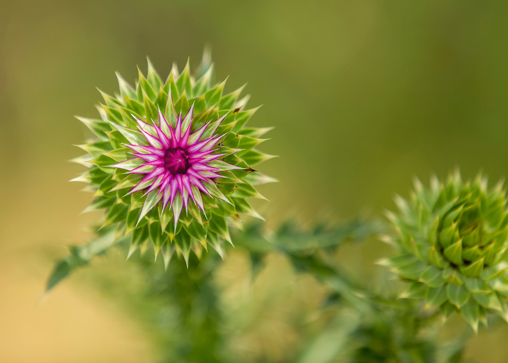 A Thistle Blossom Pops like fireworks From The Stem