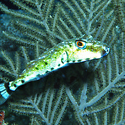Bandtail Puffer inhabit areas of shallow rubble and sea grass in Tropical West Atlantic; picture taken St. Vincent.