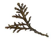 pepper dulse<br /> Laurencia pinnatifida