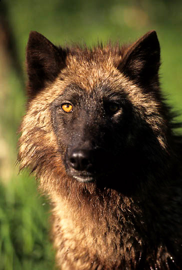 Gray Wolf, (Canis lupus) Adult portrait. Rocky Mountains. Montana.  Captive Animal.
