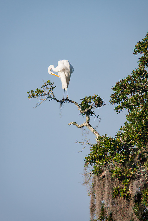 An egret perches in the fern-covered limbs of a large, moss-draped live oak along the May River near Bluffton, SC.