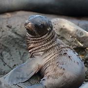 Galapagos Sea Lion (Zalophus californianus) pup on the rocks at waters edge. Galapagos, Ecuador.