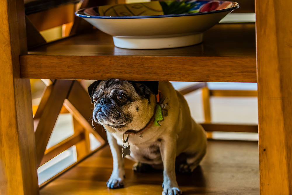 A pug finds unusual places to sit in a kitchen, Littleton, Colorado USA.