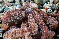 An Octopus piles its arms toward the camera<br /> <br /> Shot in Indonesia