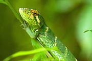 Green Anole Lizard (Norops bporcatus), unperturbed on it's perch.  Near Quepos, Costa Rica.