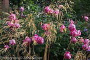 Rosa 'Royal Jubilee' - Pink English Rose by David Austin with Stipa gigantea - September