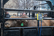 Bull named High Test is weighed at 1480 pounds in during a presentation with 2020 Professional Bull Riding (PBR) Tour and Special Olympics Illinois (SOILL) in Chicago, Friday, Jan. 10, 2020, in Chicago in Maggie Daley Park. (Max Siker/Image of Sport)