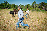Rick and Meghan Hammond chase an injured cow into a holding pen at the family farm in Hordville, Nebraska.