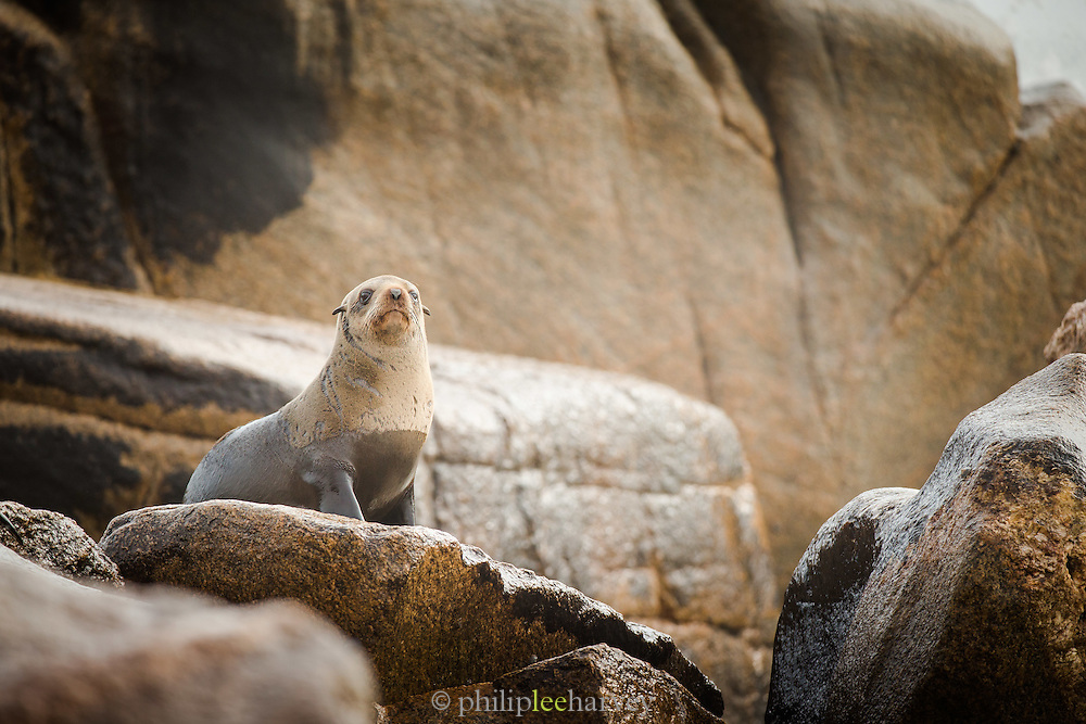 Cape Fur Seal on rock, Mowe Bay, Skeleton Coast, Northern Namibia, Southern Africa