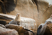 Cape Fur Seal on rock, Mowe Bay, Skeleton Coast, Northern Namibia, Southern Africa
