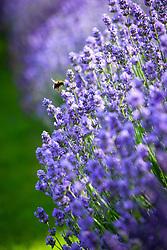 Bee landing on Lavandula angustifolia 'Munstead'. English lavender