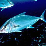 Almaco Jack inhabit open water in Tropical West Atlantic, also circumtropical; picture taken Nassau, Bahamas.