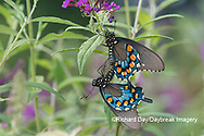 03004-01502 Pipevine Swallowtail (Battus philenor) male and female mating on Butterfly Bush (Buddleja davidii) Marion Co. IL