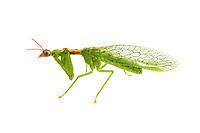 Zeugomantispa minuta - Green Mantisfly. Drawn to UV light.  Photographed at Lady Lake, FL USA
