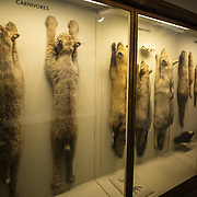 Carnivores specimens in a display case at the Museum of Natural History in New York's Upper West Side neighborhood, adjacent to Central Park.