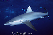 Galapagos shark, Carcharhinus galapagensis, North Shore, Oahu, Hawaii, USA ( Central Pacific Ocean )