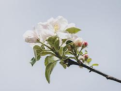 THEMENBILD - eine Apfelblüte vor blauem Himmel, aufgenommen am 24. April 2020, Kaprun, Österreich // an apple blossom in front of a blue sky on 2020/04/24, Kaprun, Austria. EXPA Pictures © 2020, PhotoCredit: EXPA/ Stefanie Oberhauser