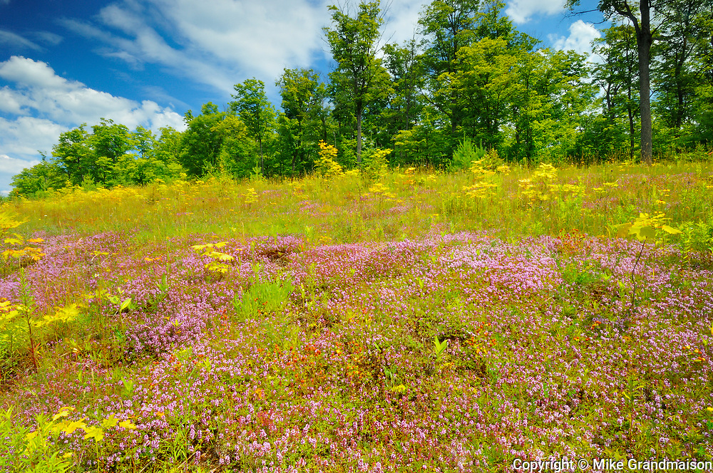 Carpet of creeping thyme  (Thymus sp.) flowers at edge of forest<br />Algonquin Provincial Park<br />Ontario<br />Canada