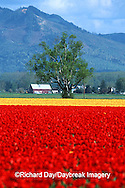 67221-007.17 Lone tree and red & yellow tulips in field  Skagit Valley  WA