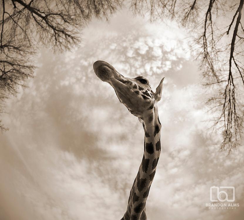 A close up shot of a Giraffe (Giraffa camelopardalis) using a fisheye lens.