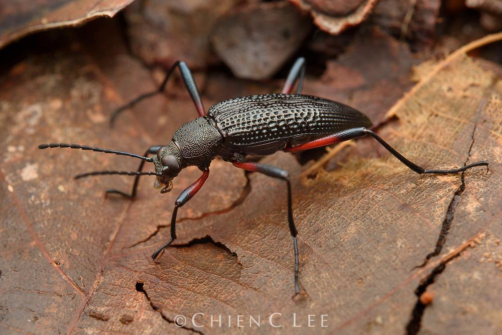 Darkling beetle (Strongylium sp.). Sarawak, Malaysia (Borneo).