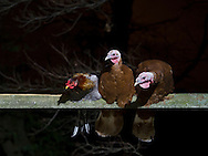 Mount Hope, New York  - A rooster shares a beam with two turkeys during Fright Night at Pierson's Farm on Oct. 25, 2014.