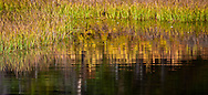 autumn grasses line the shore in a pond in the Indian Heaven Wilderness - Gifford Pinchot National Forest, Washington state, USA panorama