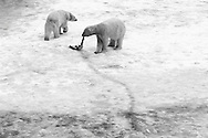 Schweden, SWE, Kolmarden, 2000: Zwei Eisbaeren (Ursus maritimus) auf einem Eisfeld bei einem toten Seehund, Kolmardens Djurpark. | Sweden, SWE, Kolmarden, 2000: Polar bear, Ursus maritimus, two polar bears on an ice field at a dead seal, Kolmardens Djurpark. |
