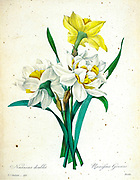 19th-century hand painted Engraving illustration of Double Daffodil flowers, by Pierre-Joseph Redoute. Published in Choix Des Plus Belles Fleurs, Paris (1827). by Redouté, Pierre Joseph, 1759-1840.; Chapuis, Jean Baptiste.; Ernest Panckoucke.; Langois, Dr.; Bessin, R.; Victor, fl. ca. 1820-1850.