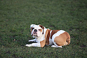 This is Frankie the English Bulldog