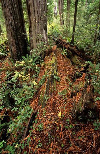 Redwoods National Park, California Redwood trees.(Sequoia sempervirens) California.