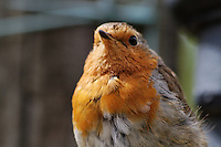 The European Robin (Erithacus rubecula), most commonly known in Anglophone Europe simply as the Robin, is a small insectivorous passerine bird that was formerly classed as a member of the thrush family (Turdidae), but is now considered to be an Old World flycatcher (Muscicapidae). Around 12.5-14.0 cm (5.0-5.5 in) in length, the male and female are similar in colouration, with an orange breast and face lined with grey, brown upperparts and a whitish belly. It is found across Europe, east to Western Siberia and south to North Africa