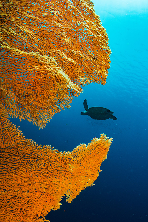 A green sea turtle (Chelonia mydas) swimming in open water with a large gorgonian sea fan in the foreground. Image made of North Sulawesi, Indonesia.