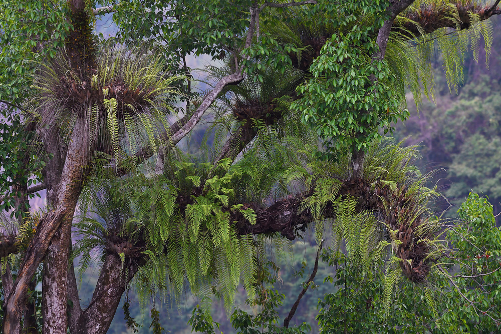 Giant ferns, Rainforest in the Tongbiguan nature reserve, Dehong Prefecture, Yunnan Province, China