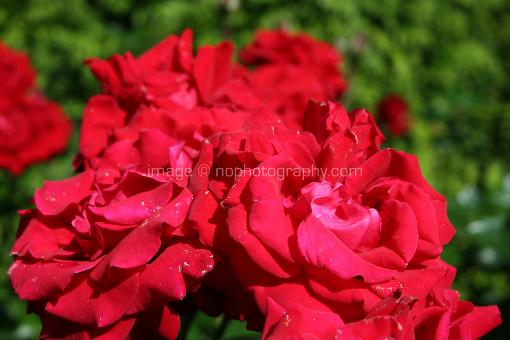 red roses growing in a garden