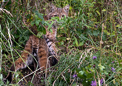 June 26, 2017 - Elkton, OREGON, U.S - A wild bobcat walks through brush on a hillside near Elkton in rural southwestern Oregon. Estimates from the US Fish and Wildlife Service place bobcat numbers between 700,000 and 1,500,000 in the US. (Credit Image: © Robin Loznak via ZUMA Wire)