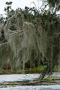 Spanish moss draped from trees in a Louisiana swamp
