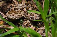 Brown-spotted Pit viper, Protobothrops mucrosquamatus, Eluanbi park, Kenting National Park, Taiwan
