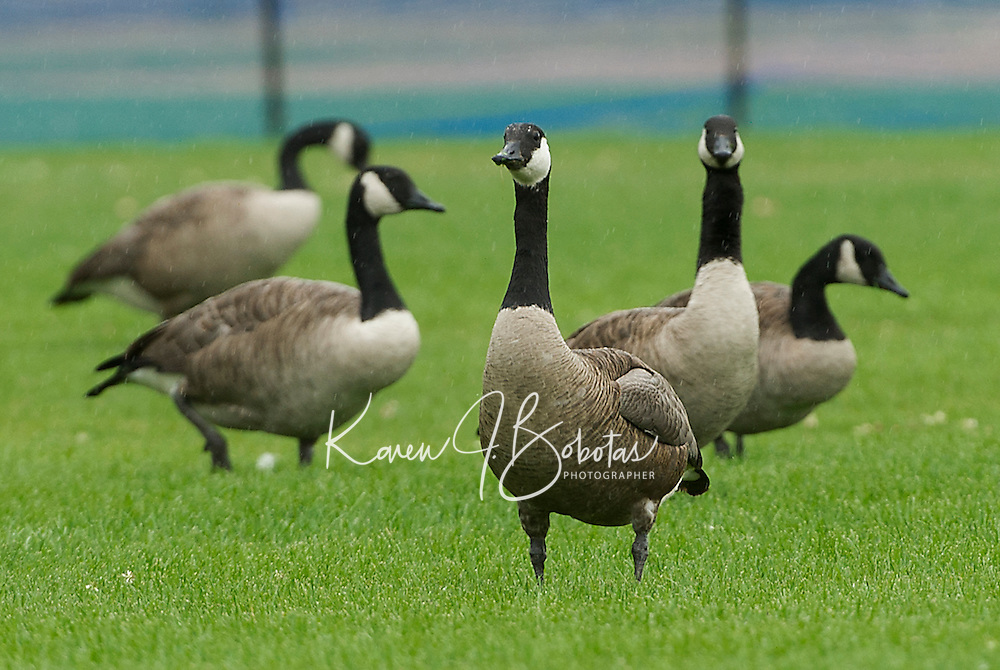 A gaggle of geese at Opechee Park on Friday morning.   (Karen Bobotas/for the Laconia Daily Sun)