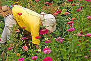 Farmer working in a field of Mauve Chrysanthemum