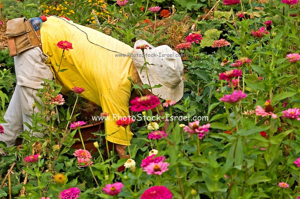 Farmer working in a field of Mauve Chrysanthemum