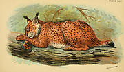 lynx (plural lynx or lynxes) is any of the four species (the Canada lynx, Iberian lynx, Eurasian lynx, or bobcat) [Here as Felis lynx] within the medium-sized wild cat genus Lynx.  From the book ' A handbook to the carnivora : part 1 : cats, civets, and mongooses ' by Richard Lydekker, 1849-1915 Published in 1896 in London by E. Lloyd