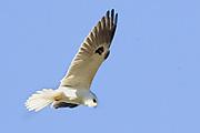 White-tailed Kite hovering.(Elanus leucurus).Back Bay Reserve, California