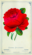 General Jacquiminot - Hybrid Perpetual Rose from Dewey's Pocket Series ' The nurseryman's pocket specimen book : colored from nature : fruits, flowers, ornamental trees, shrubs, roses, &c by Dewey, D. M. (Dellon Marcus), 1819-1889, publisher; Mason, S.F Published in Rochester, NY by D.M. Dewey in 1872