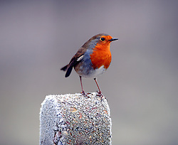 © Licensed to London News Pictures. 19/01/2015<br /> A Robin looking for food.<br /> Freezing cold weather conditions overnight  (19.01.2015) along the River Darent, Eynsford in Kent.<br /> <br /> Weather warning has been issued across most of the uk as temperatures dropped overnight to -11c in parts.<br /> <br /> (Byline:Grant Falvey/LNP)