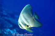 batfish, Platax teira, Helen Atoll, Southwest Islands, Palau ( Belau ), Micronesia ( Western Pacific Ocean )