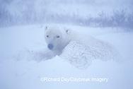 01874-080.01 Polar Bear (Ursus maritimus) lying in snow bank in blizzard conditions  Churchill  MB