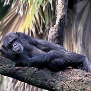 Chimpanzee, (Pan troglodytes) Inhabits Africa. Captive Animal.
