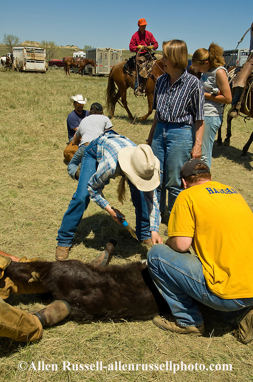 Branding, Cowgirl, Rancher Carmen Cavall vaccinates calf while it is castrated and branded, east of Miles City, Montana